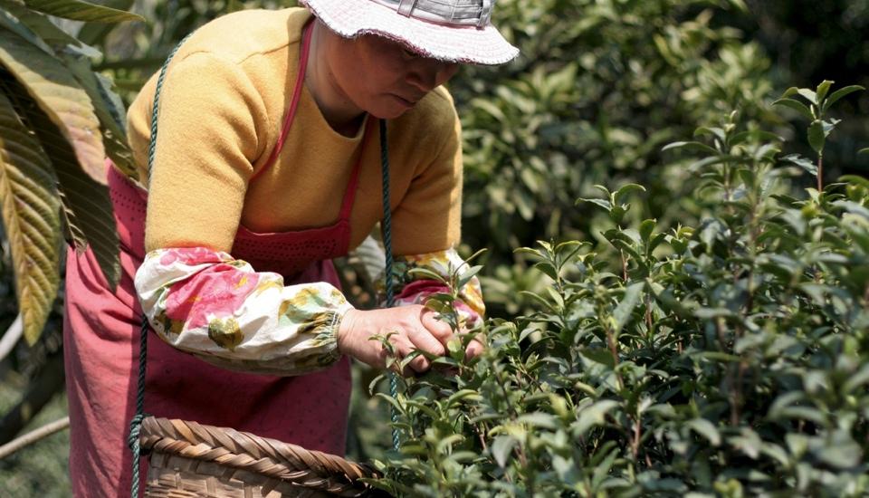 客栈张阿姨正在后山上自家种植的碧螺春茶园中采摘明前新茶