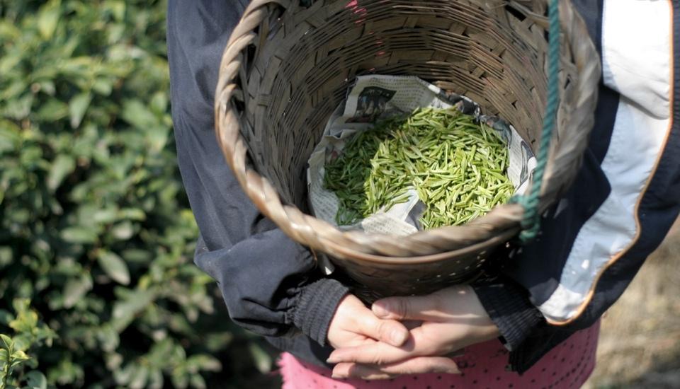 刚采摘下来的明前新茶,嫩嫩的芽叶飘散着一股清香 - JamieWang.com