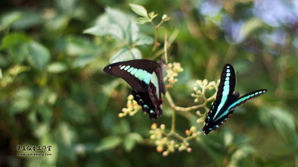 莫愁湖畔莫愁蝶 - butterfly - 1024X576 - 米多饭香工作室 - Jamie's Mind Lab - jamiewang.com - 001