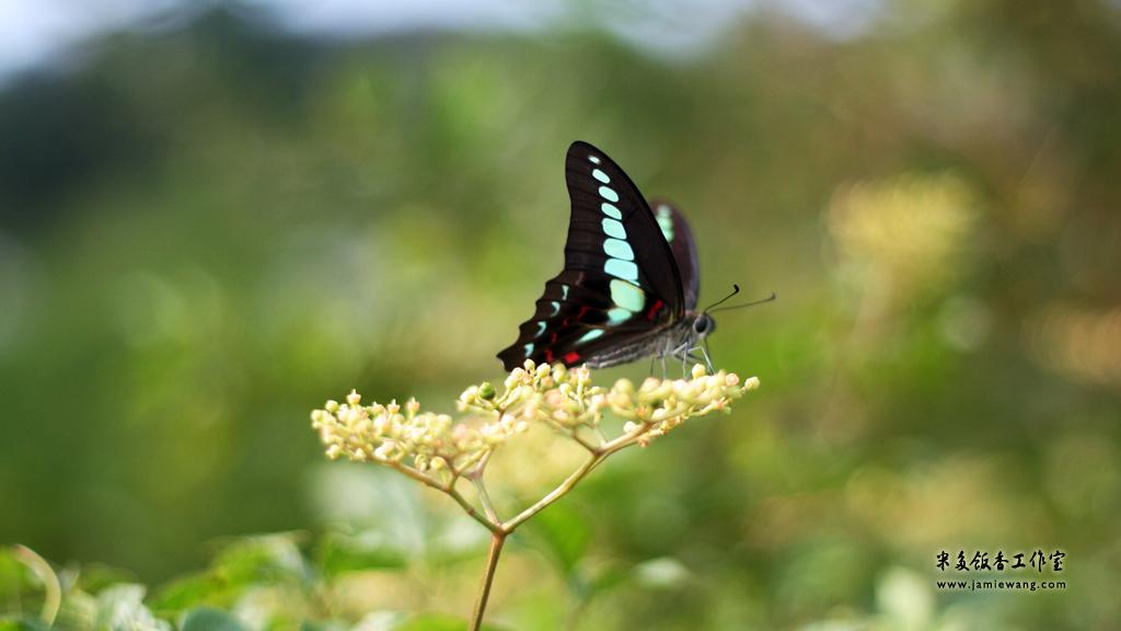 莫愁湖畔莫愁蝶 - butterfly - 1024X576 - 米多饭香工作室 - Jamie's Mind Lab - jamiewang.com - 002