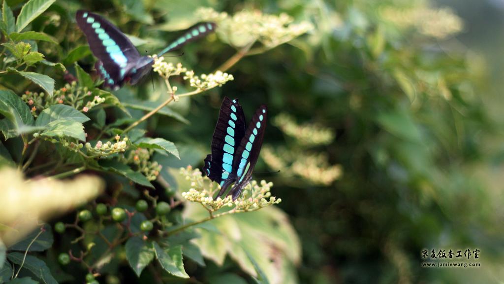 莫愁湖畔莫愁蝶 - butterfly - 1024X576 - 米多饭香工作室 - Jamie's Mind Lab - jamiewang.com - 004