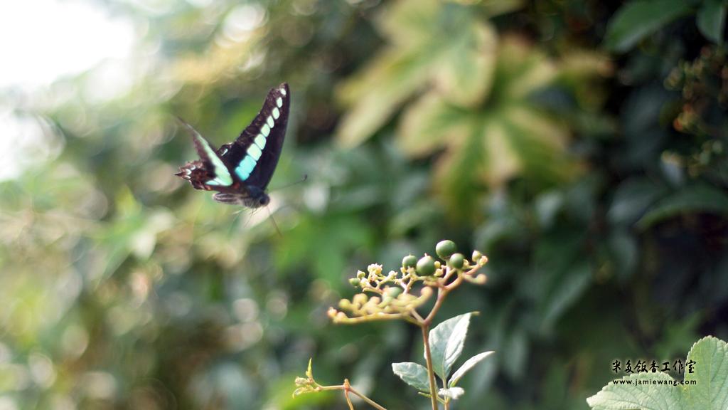 莫愁湖畔莫愁蝶 - butterfly - 1024X576 - 米多饭香工作室 - Jamie's Mind Lab - jamiewang.com - 005
