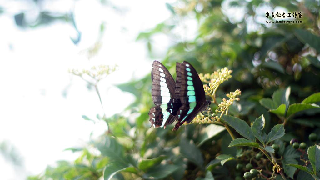 莫愁湖畔莫愁蝶 - butterfly - 1024X576 - 米多饭香工作室 - Jamie's Mind Lab - jamiewang.com - 006