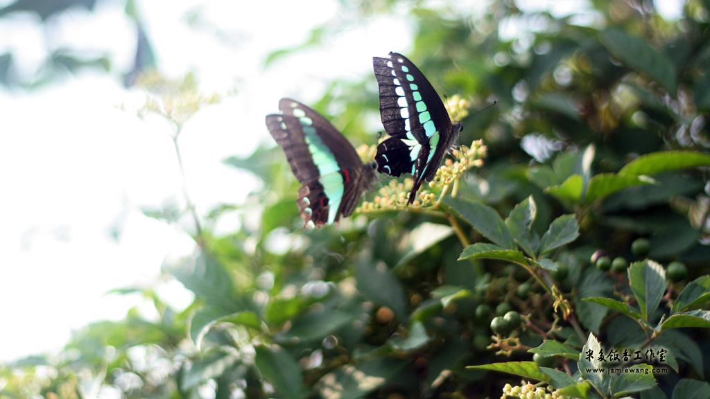 莫愁湖畔莫愁蝶 - butterfly - 1024X576 - 米多饭香工作室 - Jamie's Mind Lab - jamiewang.com - 007