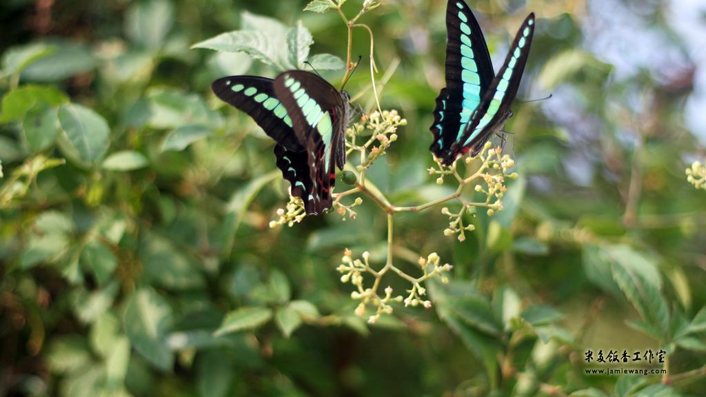 莫愁湖畔莫愁蝶 - butterfly - 1024X576 - 米多饭香工作室 - Jamie's Mind Lab - jamiewang.com - 008