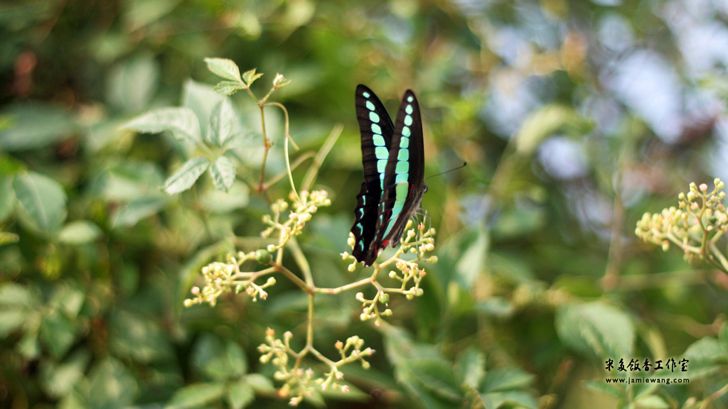 莫愁湖畔莫愁蝶 - butterfly - 1024X576 - 米多饭香工作室 - Jamie's Mind Lab - jamiewang.com - 009