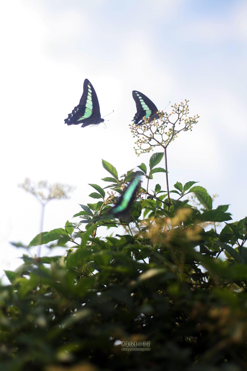 莫愁湖畔莫愁蝶 - butterfly - 1024X576 - 米多饭香工作室 - Jamie's Mind Lab - jamiewang.com - 010