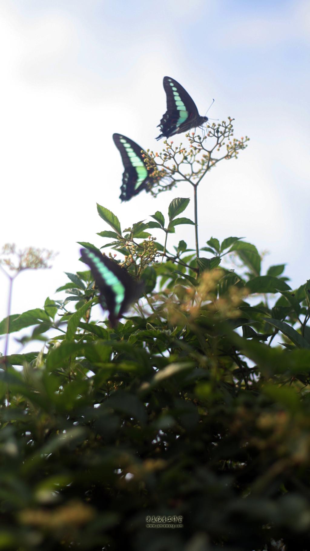 莫愁湖畔莫愁蝶 - butterfly - 1024X576 - 米多饭香工作室 - Jamie's Mind Lab - jamiewang.com - 011