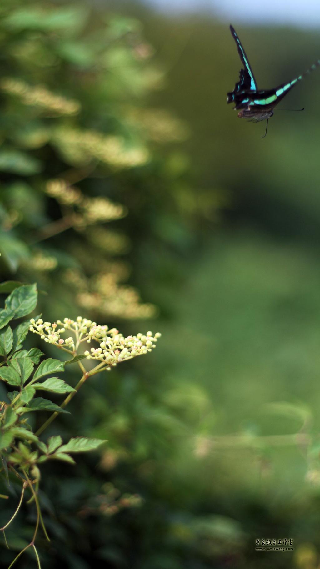 莫愁湖畔莫愁蝶 - butterfly - 1024X576 - 米多饭香工作室 - Jamie's Mind Lab - jamiewang.com - 012
