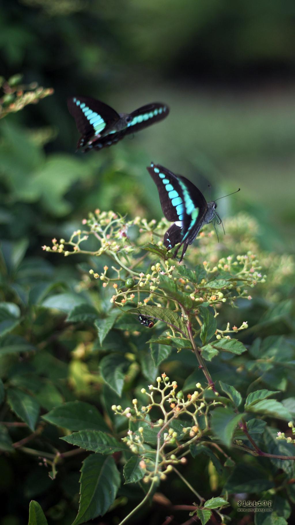 莫愁湖畔莫愁蝶 - butterfly - 1024X576 - 米多饭香工作室 - Jamie's Mind Lab - jamiewang.com - 013
