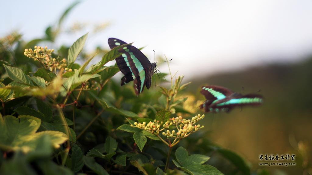 莫愁湖畔莫愁蝶 - butterfly - 1024X576 - 米多饭香工作室 - Jamie's Mind Lab - jamiewang.com - 015