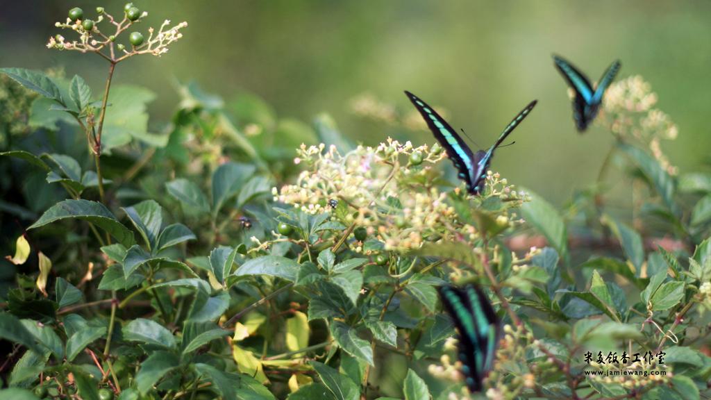 莫愁湖畔莫愁蝶 - butterfly - 1024X576 - 米多饭香工作室 - Jamie's Mind Lab - jamiewang.com - 016
