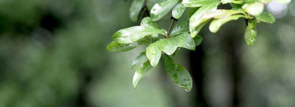 雨后的树叶-宁静的美好-米多饭香工作室