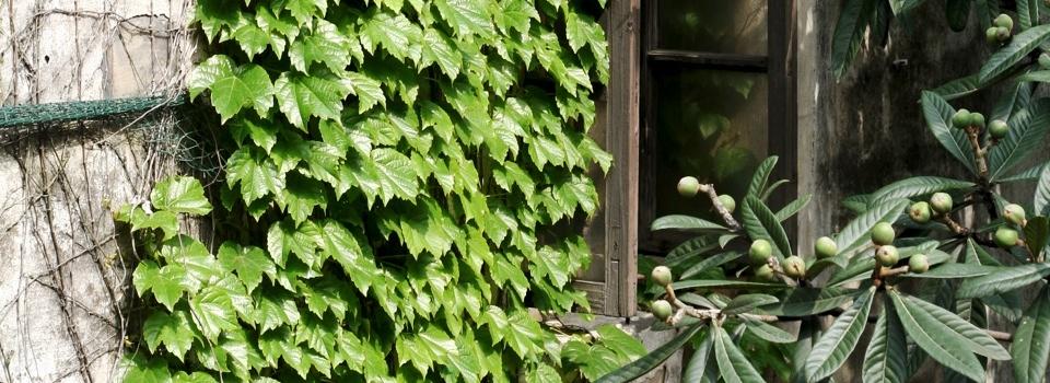 漫过窗台的爬山虎-宁静的美好-米多饭香工作室