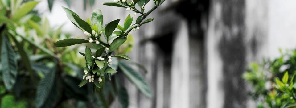 橘子花开-宁静的美好-米多饭香工作室